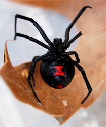 Westminster Black Widow