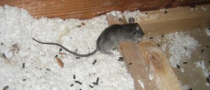Westminster rodent control